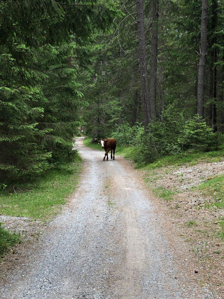 Es stehen ab und zu auch mal Kühe auf dem Weg